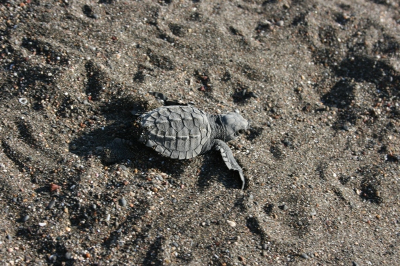 First steps of baby turtles in Playa Ostional, Costa Rica. Click to watch the video!