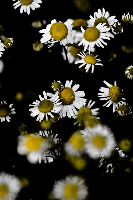 Chamomile is one of the flowers Latvians would save for their winter tea. Photo credit:  Pere Tubert Juhé
